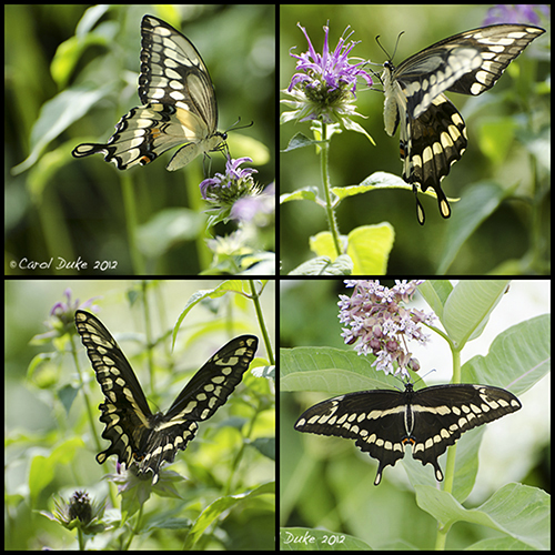 Giant Swallowtails at Flower Hill Farm