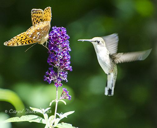 Flower Hill farm Hummingbird and Fritillary