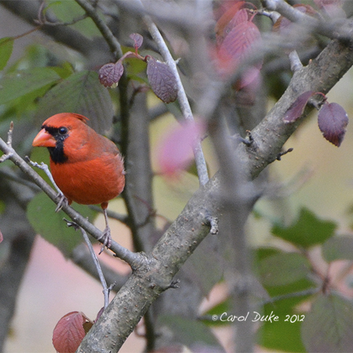 Beloved Northern Cardinal