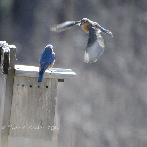 Spring's Resolve Bluebirds and Tree Swallows