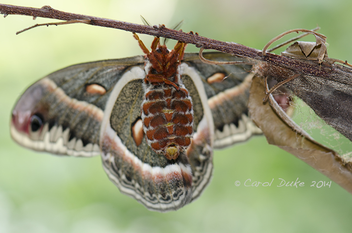 Female Cecropia silkmoth