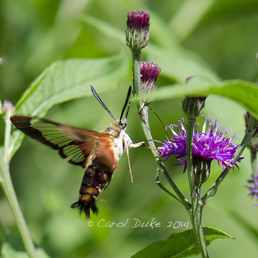 Hummingbird Clearwing Moth (Hemaris thysbe)