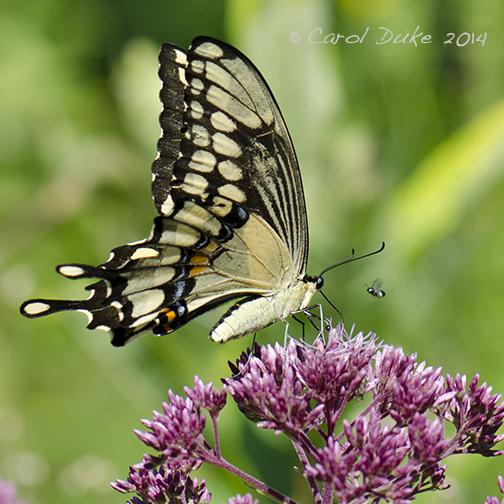 Metamorphosis of Butterflies from 2014