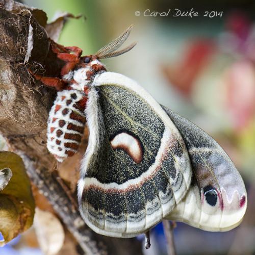 Cecropia Moth (Hyalophora cecropia)