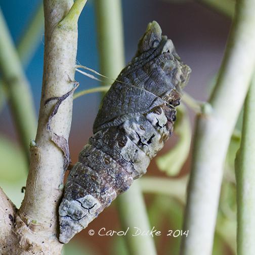 Giant Swallowtail Butterfly Metamorphosis