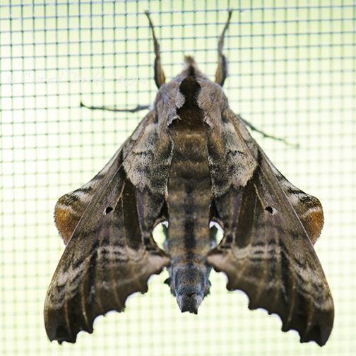 Blind-eyed Sphinx Moth (Paonias excaecata)