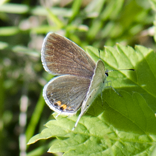 Eastern-Tailed Blue
