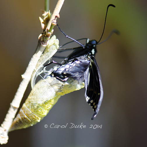 Black Swallowtail Emerging
