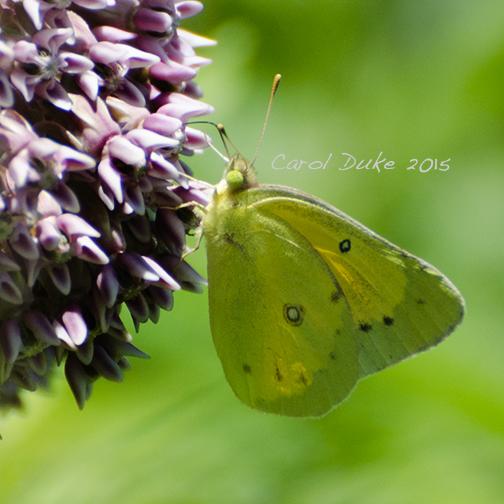 Orange Sulphur on Milkweed