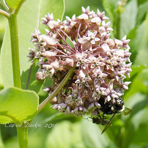 Milkweed and Bees