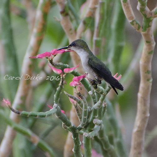 Jamaica hummingbird