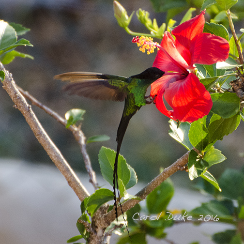 Hummingbirds - Red-billed Streamertail (Trochilus polytmus)