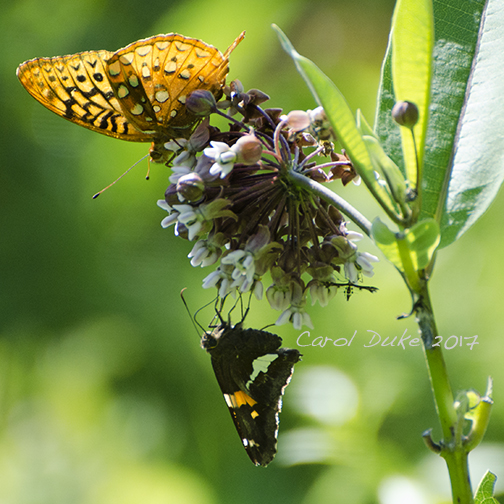 Aphrodite Fritillary and Sliver-spotted Skipper