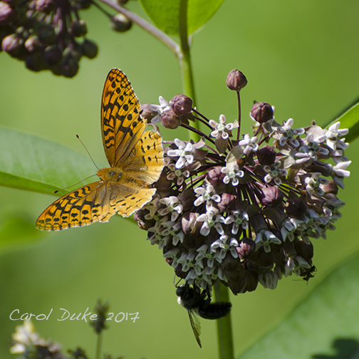 Aphrodite or Great Spangled Fritillary
