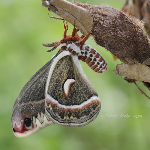 Male Cecropia silkmoth and cocoon