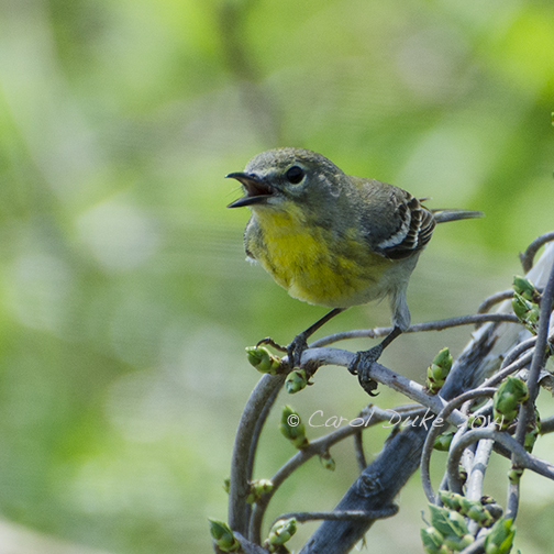 Female Yellow-throat Vireo or Magnolia Warbler