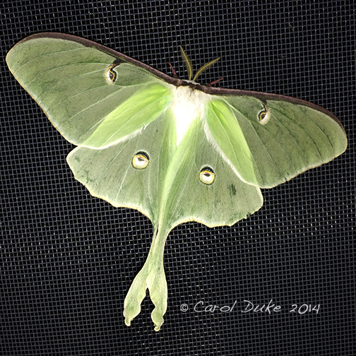 Beauties of the Night ~ Luna Moth