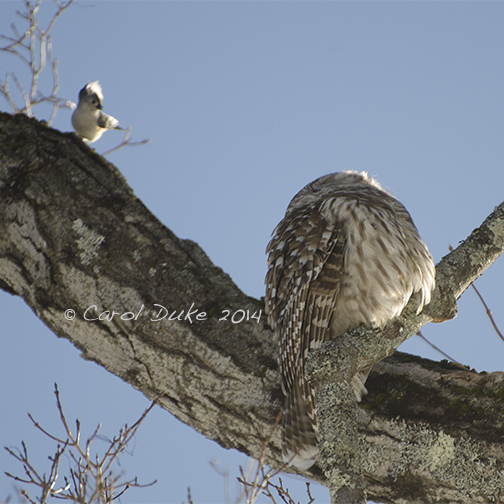 Barred Owl (Strix varia) and Tufted Titmouse