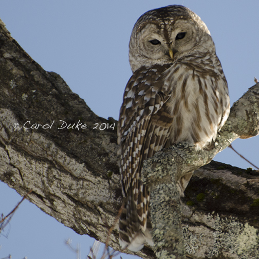 Beauties of the Night ~ Barred Owl