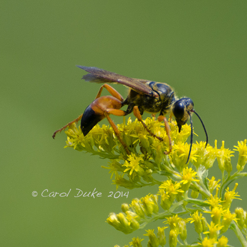 Great Golden Digger Wasp (Sphex ichneumonea)