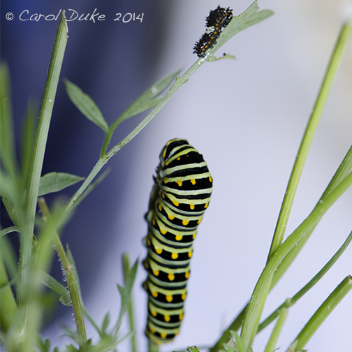 Black Swallowtail Butterfly Metamorphosis