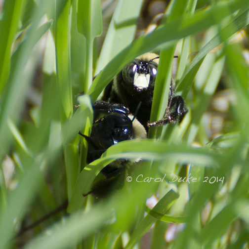Carpenter Bees (Xylocopa virginica)