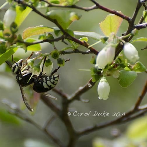 Baldfaced Hornet (Dolichovespula maculata)