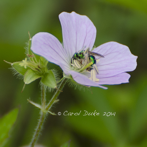 Green Bee (Augochlora pura)