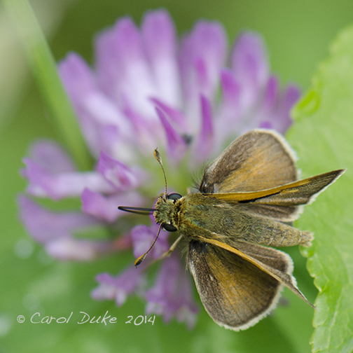 Northern Broken Dash Skipper