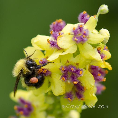 Bumblebee (genus Bombus)