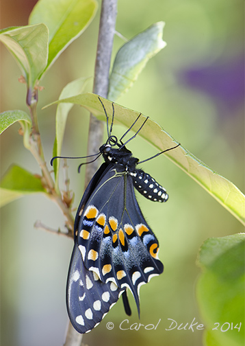 Black Swallowtail Butterfly Metamorphosis