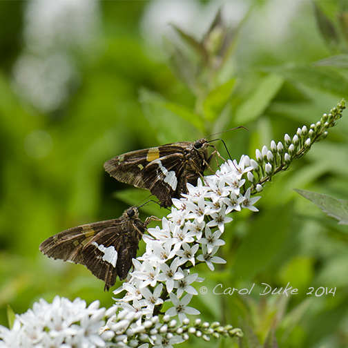 Sliver-spotted Skipper