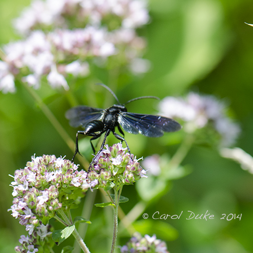 Blue Mud Dauber (Chalybion californicum)