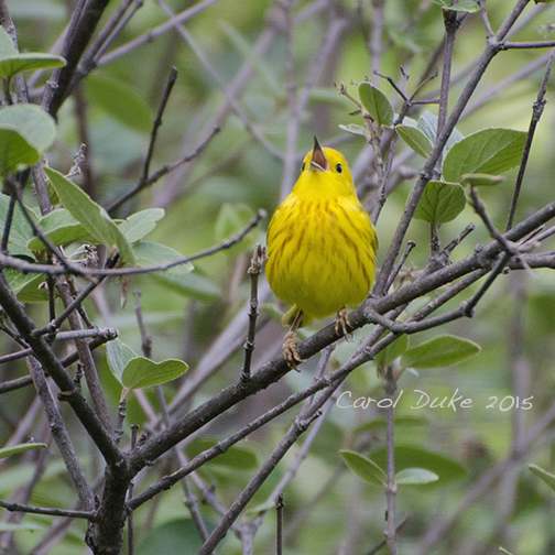 Yellow Warbler Sings in the Rain