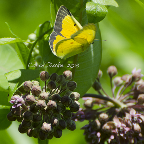 Orange Sulphur on Milkweed