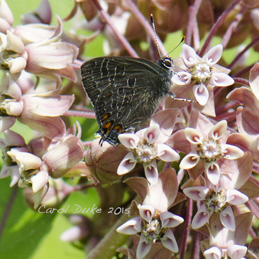 Striped Hairstreak on Milkweed