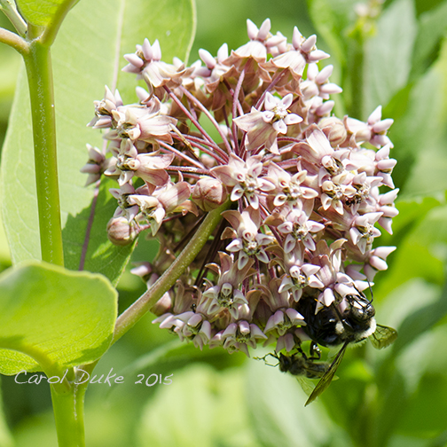 Milkweed and Bees
