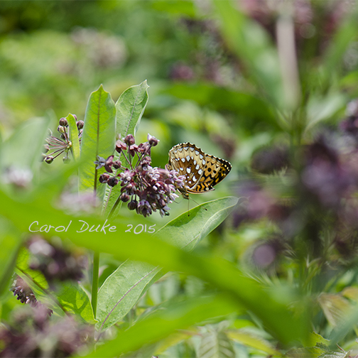 The Allure of Milkweed