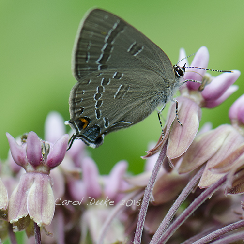 Banded Hairstreak on Milkweed