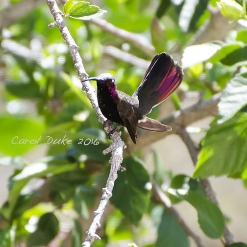 Jamaican Mango Hummingbird (Anthracothorax mango)