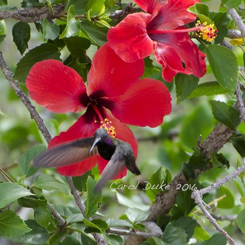 Jamaican Mango (Anthracothorax mango)