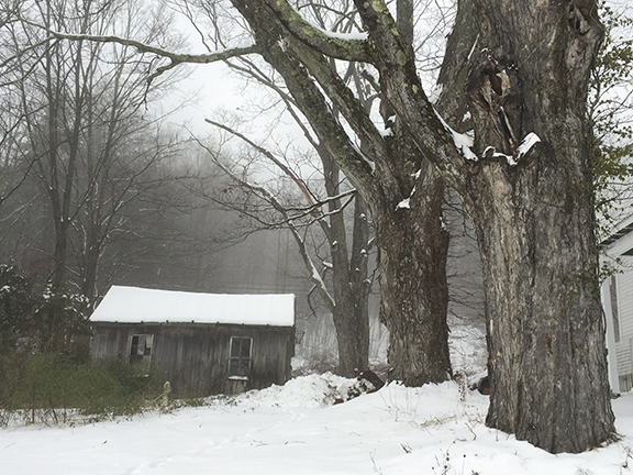 Giant Rock Maples and Sad Shed in Winter